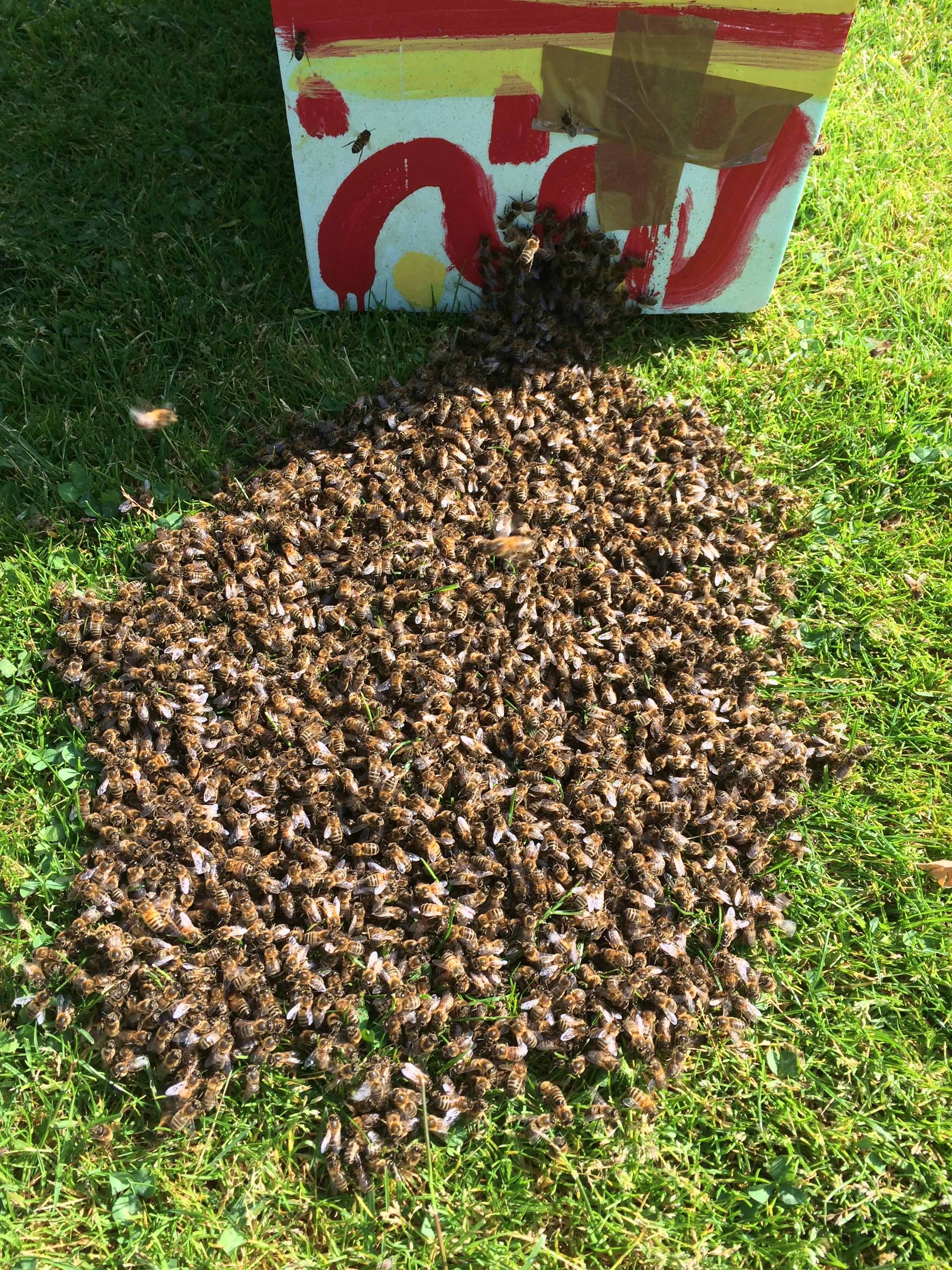 Capture de 2 essaims et pose de la hausse sur ruche 2