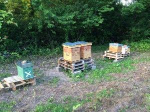 Les deux essaims capturés le 24 mai ont été installés au rucher