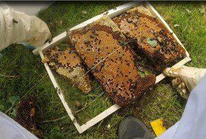 Capture essaim difficile et visite du rucher n°2