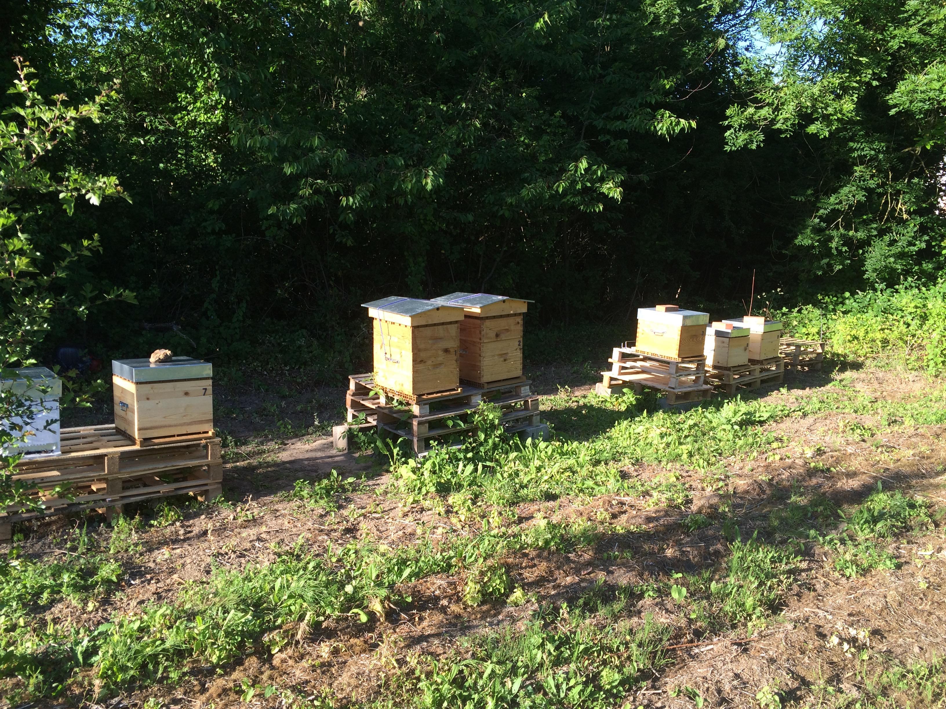 06 Juin 2015 : rucher école, visite du rucher 1 et enruchage des ruchettes R1, R2 et R3
