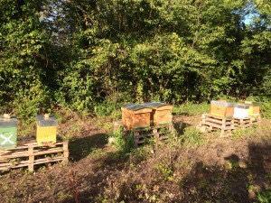 Pesée des ruches pour la préparation à l'hivernage