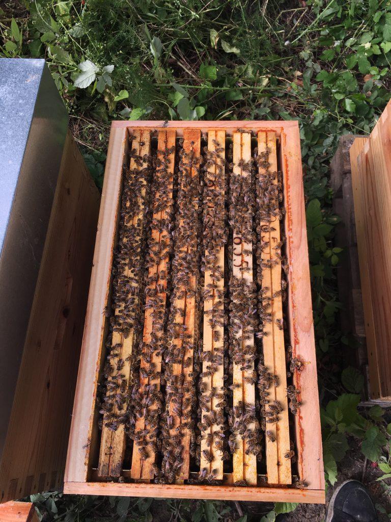 6 cadres couverts d'abeilles