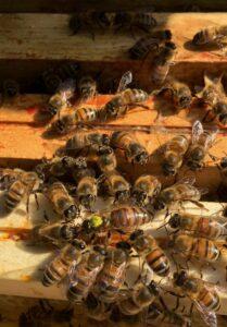 Exploitation apicole dans les Yvelines
