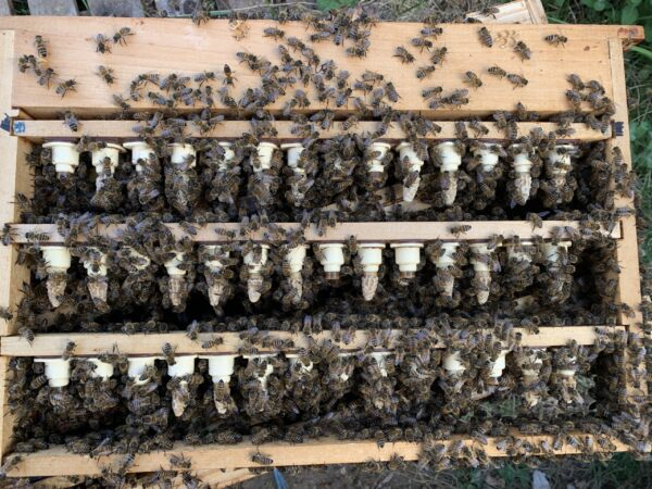 Vente des essaims et reines pour les apiculteurs